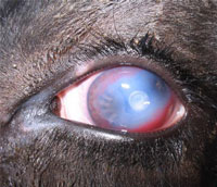 how to get rid of pink eye in cattle